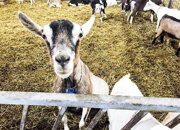 Goat-Single