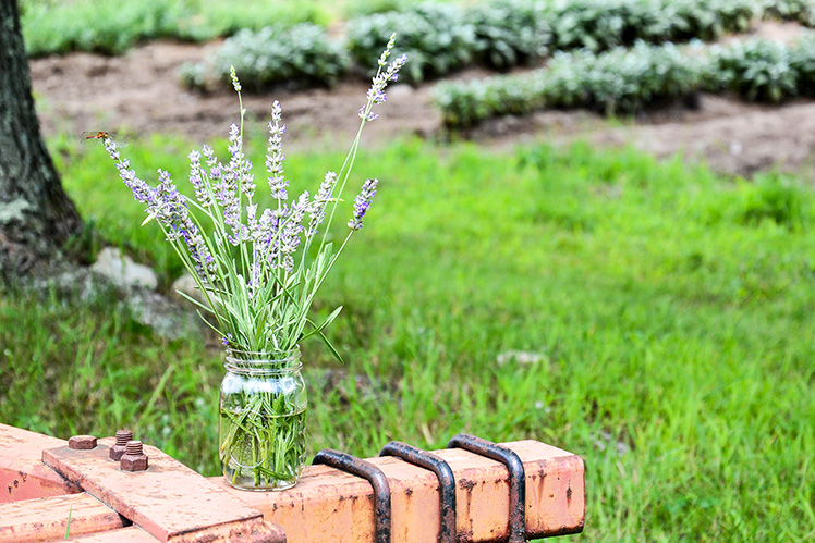 Lavender-Plants-Tractor