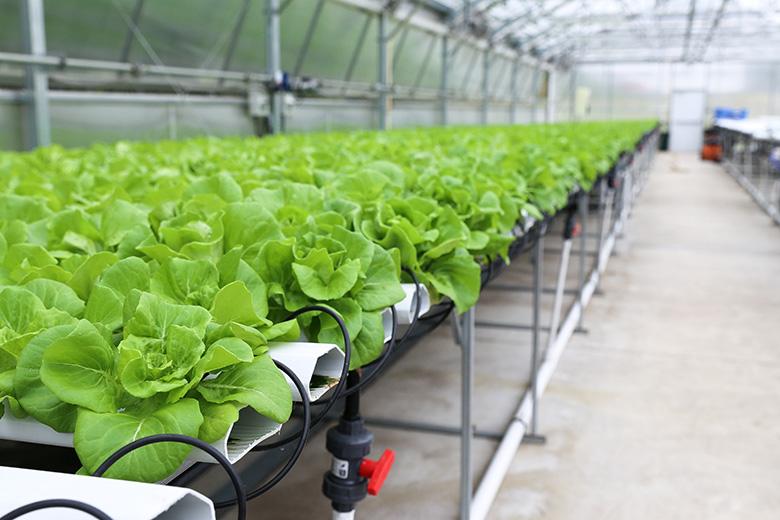 Boston Lettuce in Hydroponic Greenhouse | www.floatingkitchen.net