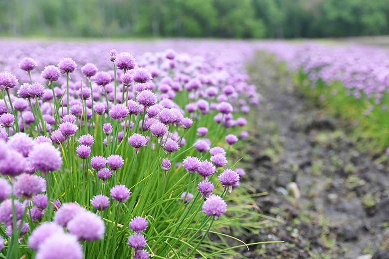 Chives growing on Donabedian Farms | www.floatingkitchen.net