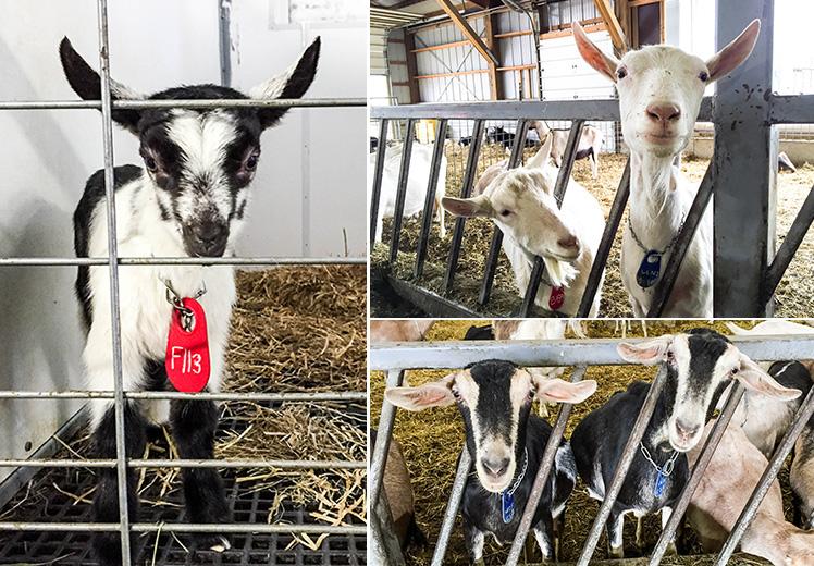 Goat-Montage