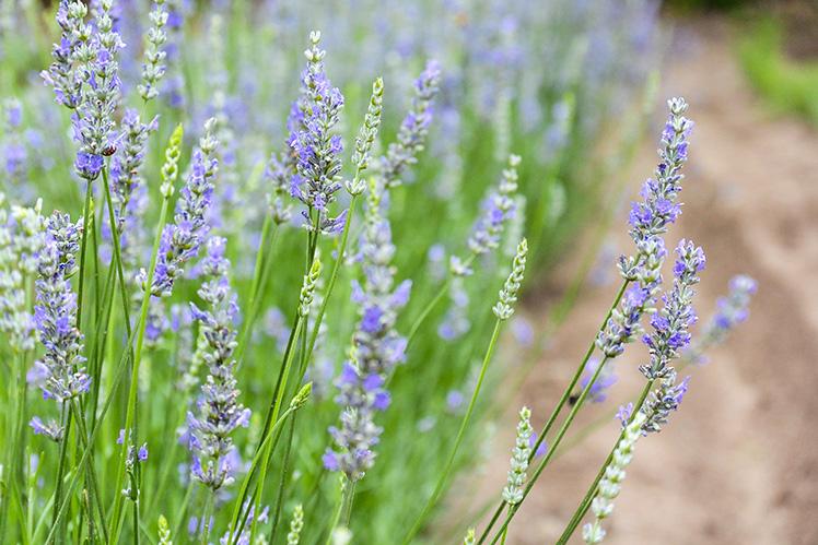 Lavender-Plants