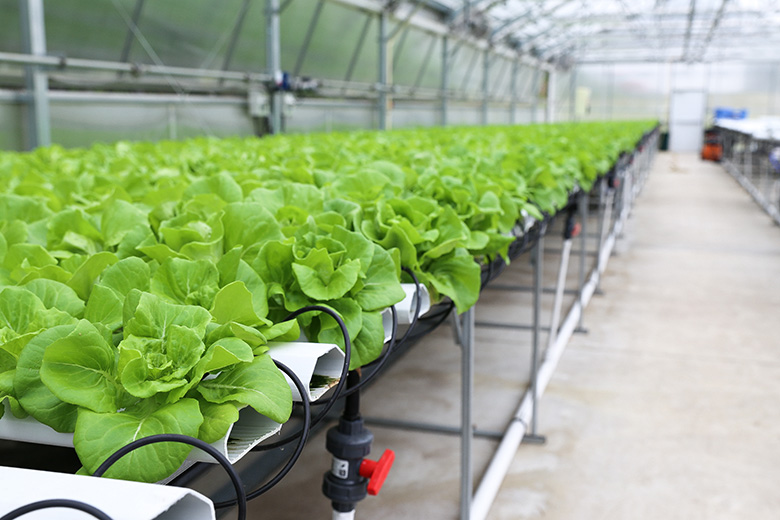 Boston Lettuce in Hydroponic Greenhouse | www.floatingkitchen.net