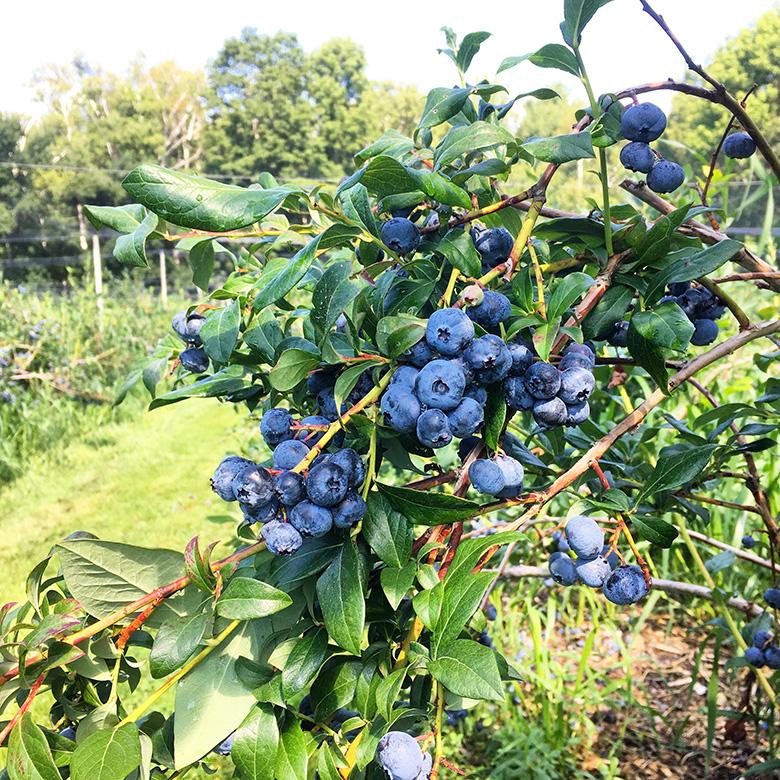 Blueberry Field | www.floatingkitchen.net